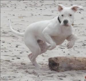Ich wußte es schon immer. Dogos sind verkappte weiße Känguruhs.