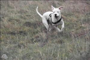 Ein Dogo ist ein weißes Känguruh